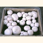Whit Button Mushroom (Agaricus bisporus) Mini Kit