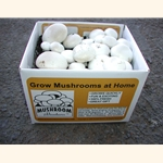 White Button Kit (Agaricus bisporus)