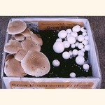 ½ Mini Portabella & ½ Mini White Button Kit (Agaricus bisporus)