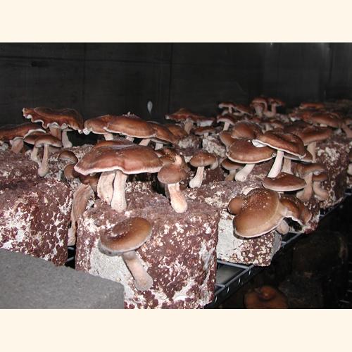 Shiitake Mushroom Kit Shiitake Mushroom Kit