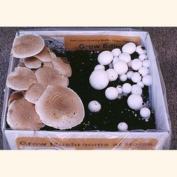 ½  Portabella & ½  White Button Kit (Agaricus bisporus)